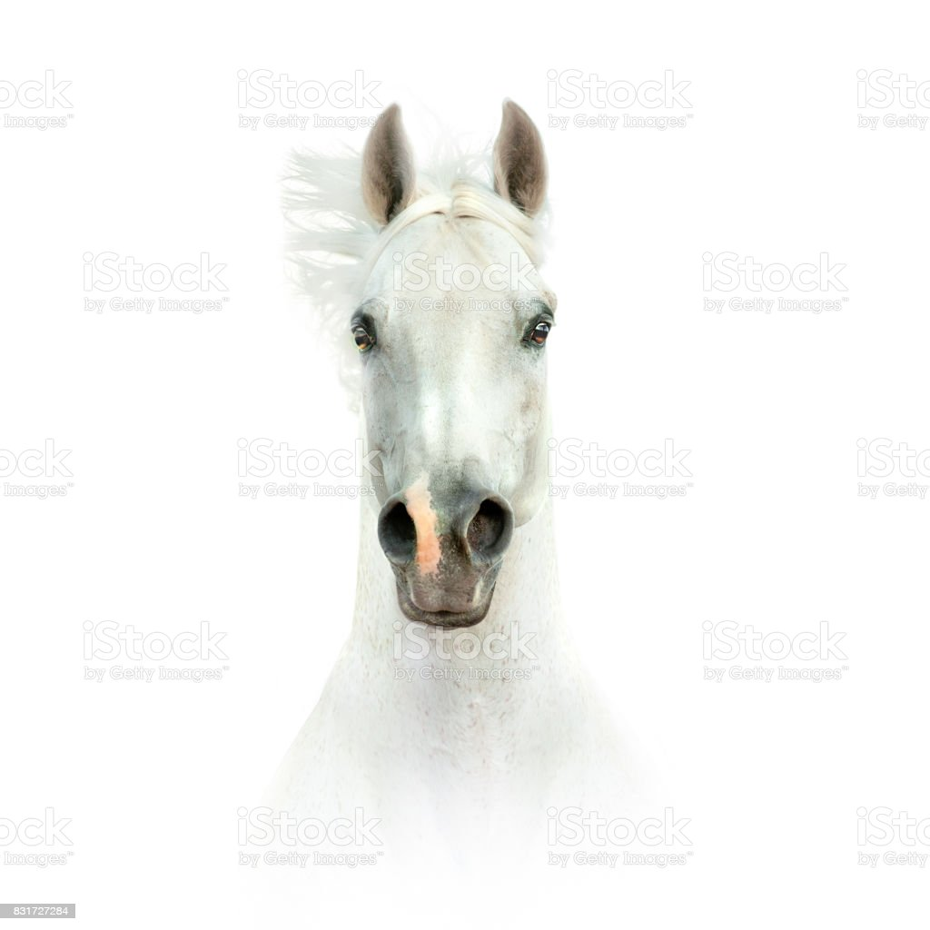 white horse head isolated on white stock photo