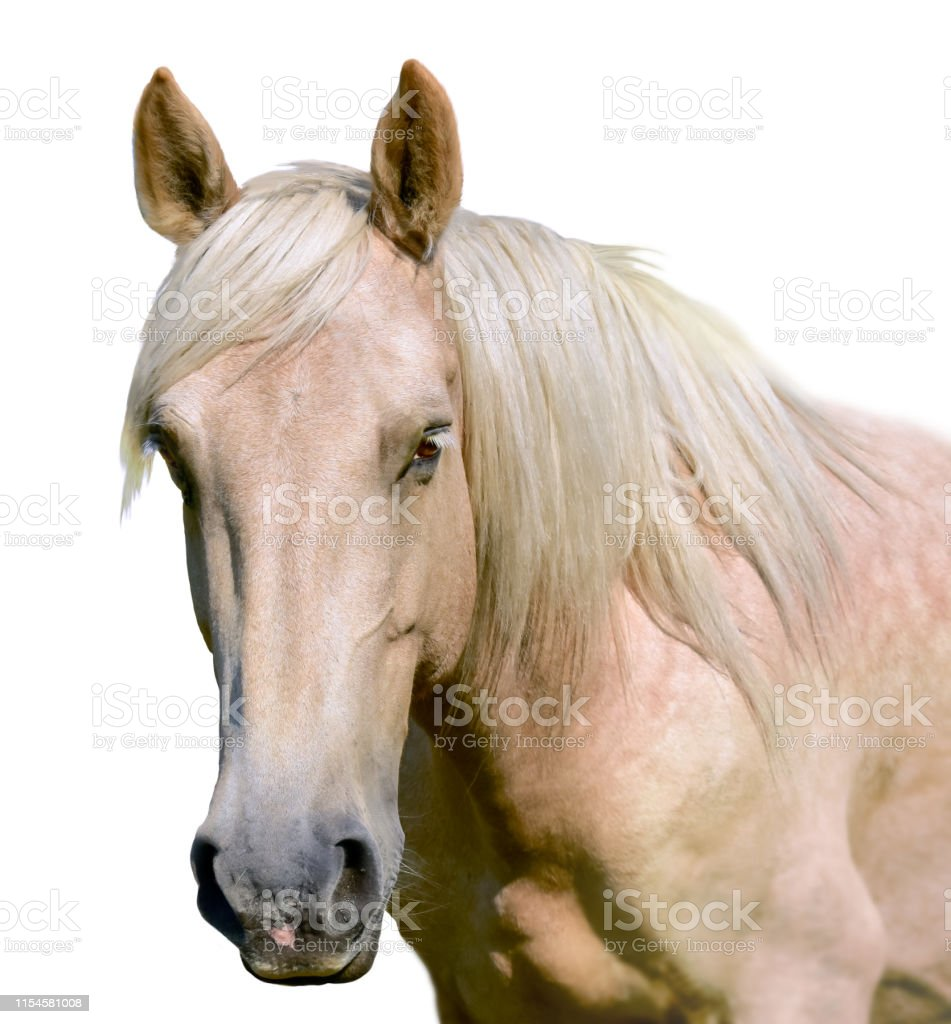 White Horse Head Isolated A Closeup Portrait Of The Face Of A Horse Stock Images Page Everypixel