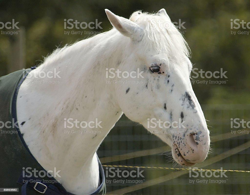 white horse head shot royalty-free stock photo