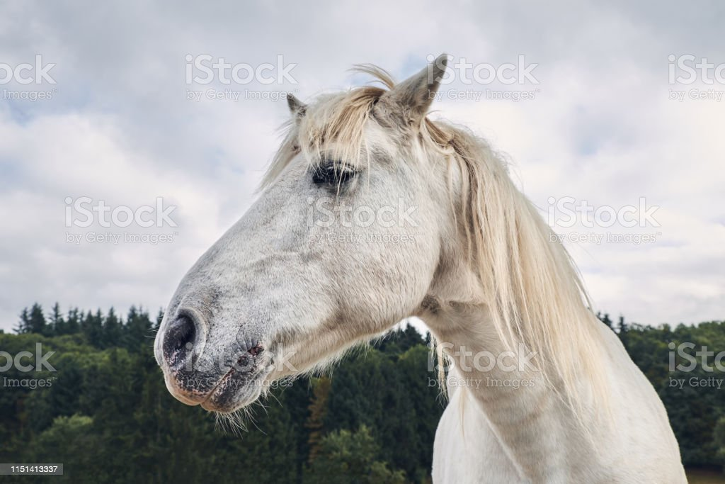 White Horse Head Side View With Forest On A Background Stock Photo Download Image Now Istock