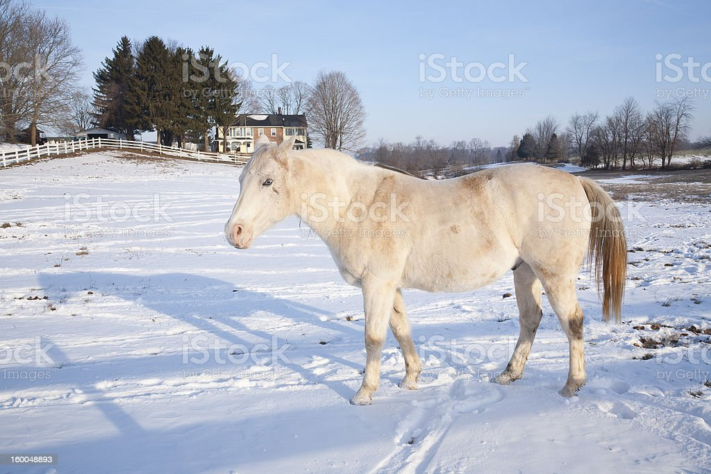 White Horse in a Snowy Paddock stock photo