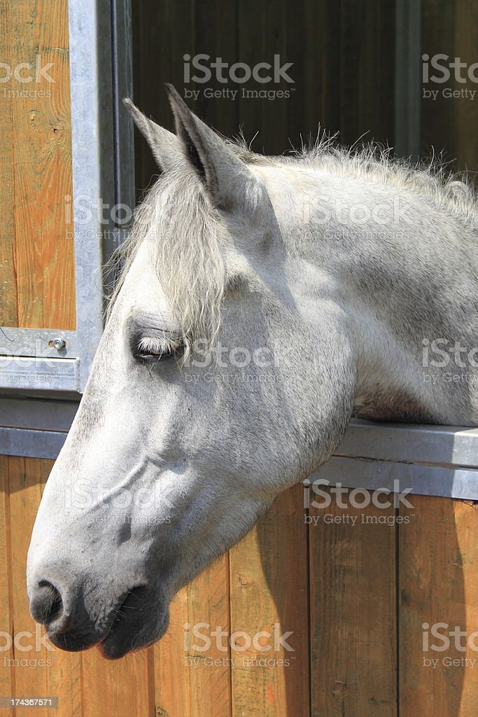 White horse in a stable royalty-free stock photo