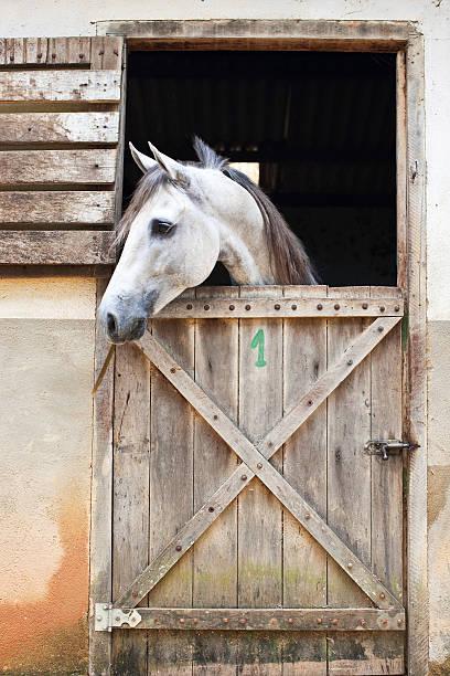 Cavalo Branco em um box - foto de acervo