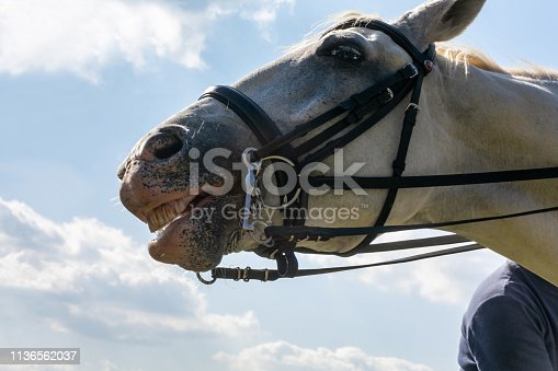 White horse in harness neighing close-up