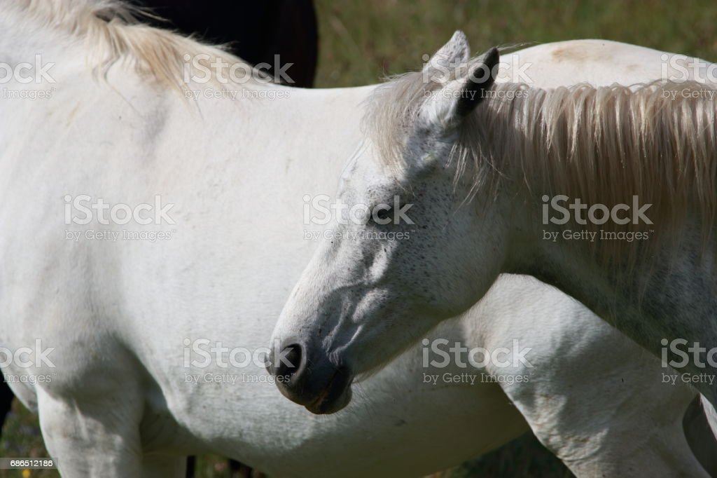 white Horse in meadow royalty free stockfoto