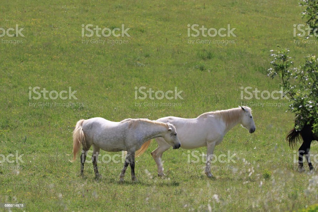 white Horse in meadow royalty-free stock photo