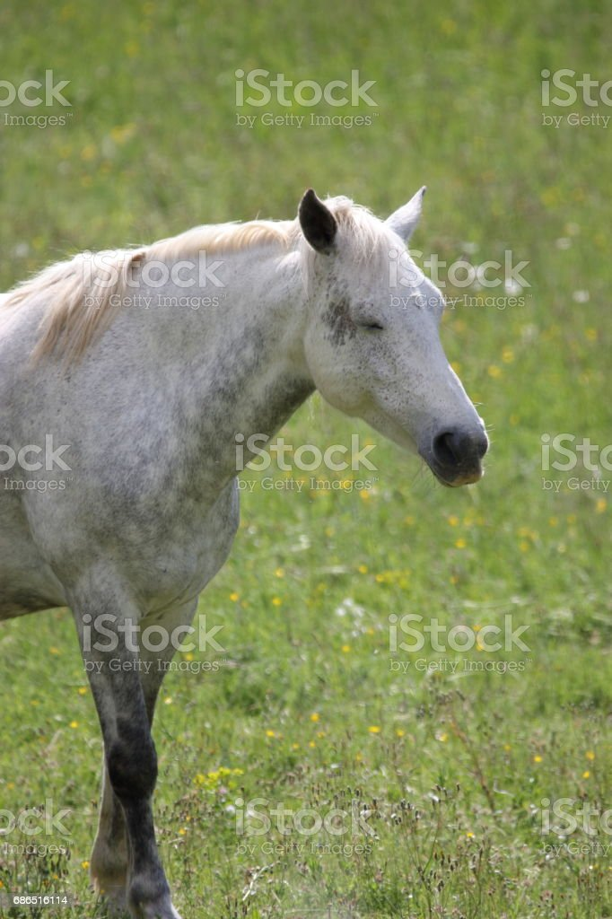 white Horse in meadow foto stock royalty-free
