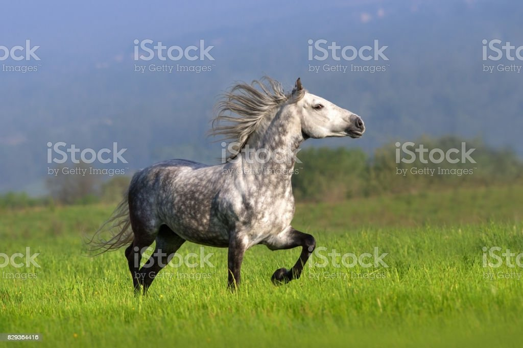 White horse in motion stock photo