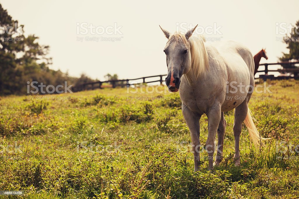 white horse in pasture stock photo