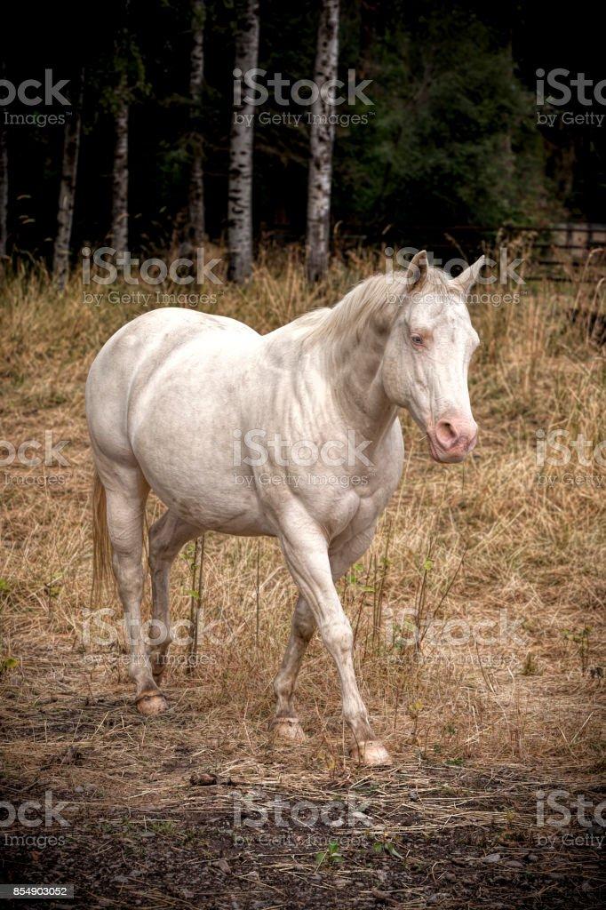 White horse in pasture. stock photo
