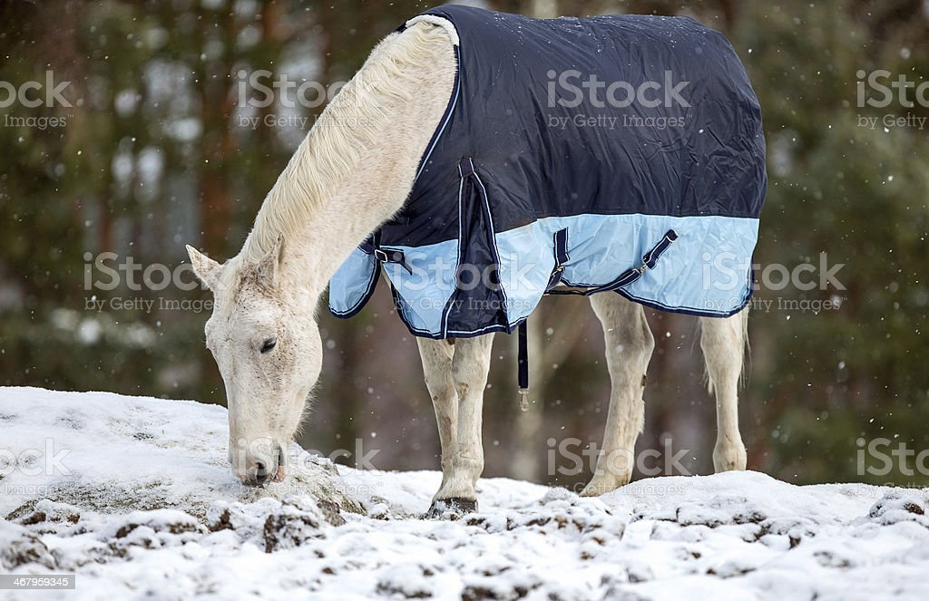 White horse in the snow stock photo