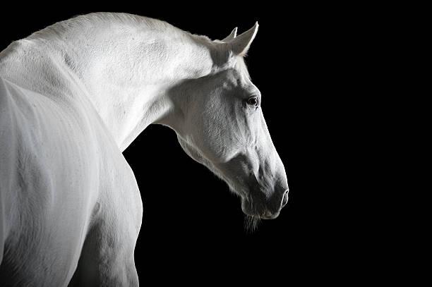 white horse isolated on black stock photo