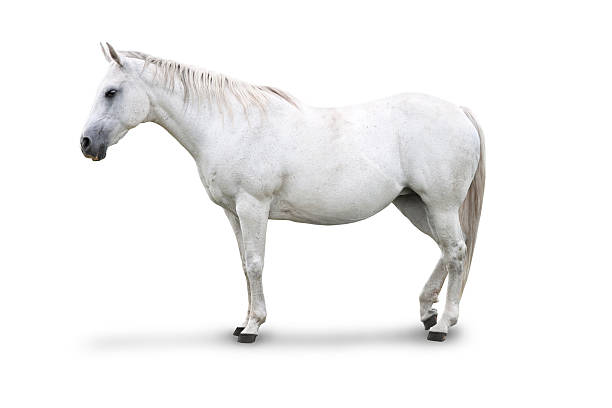White horse isolated picture id174484648?b=1&k=6&m=174484648&s=612x612&w=0&h=ah97z9bsdi4kvvc87r7bf owrm6dhh4fij6bn7u6bbe=