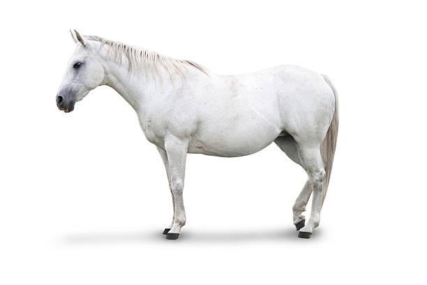 weißes pferd isoliert - farbe gegen schimmel stock-fotos und bilder