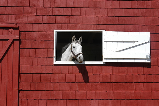 white horse looking out of red barn window
