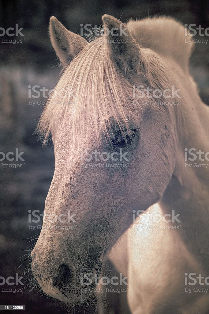 White horse oblique portrait royalty-free stock photo