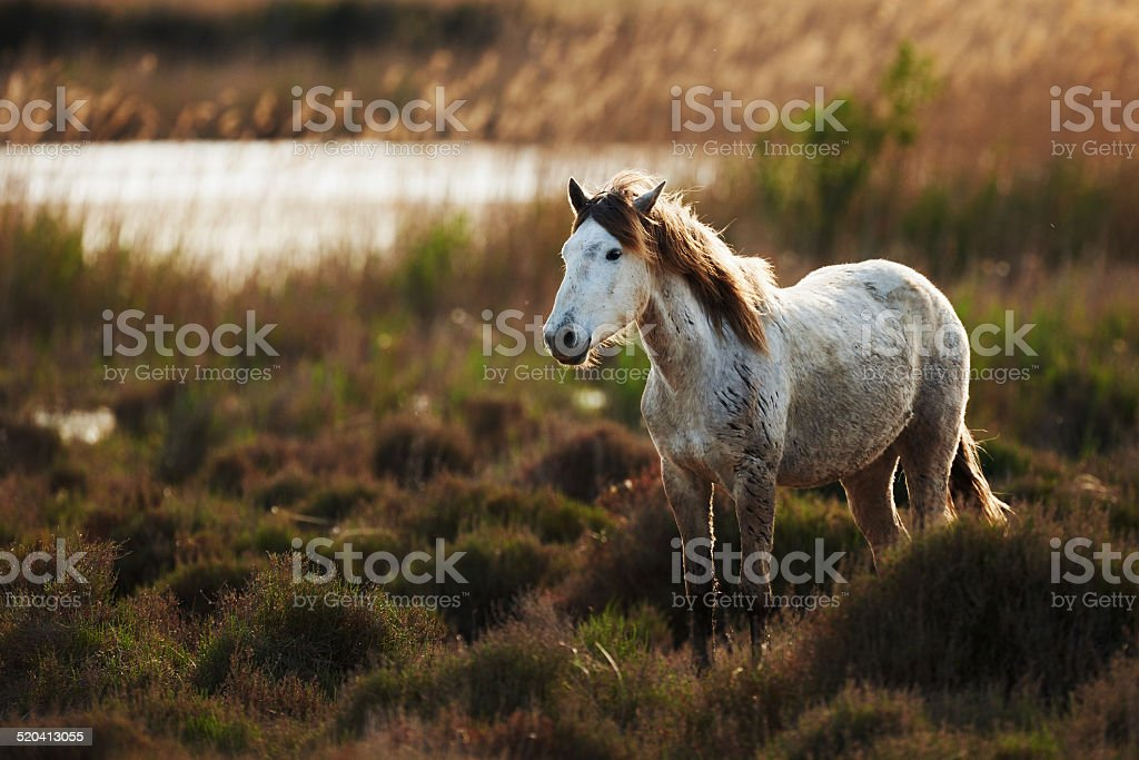 White horse of Camargue stock photo