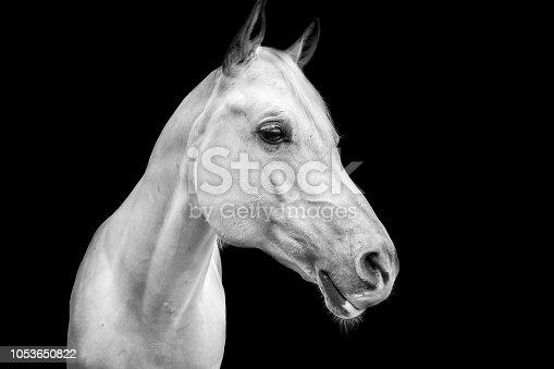 White horse isolated on dark background