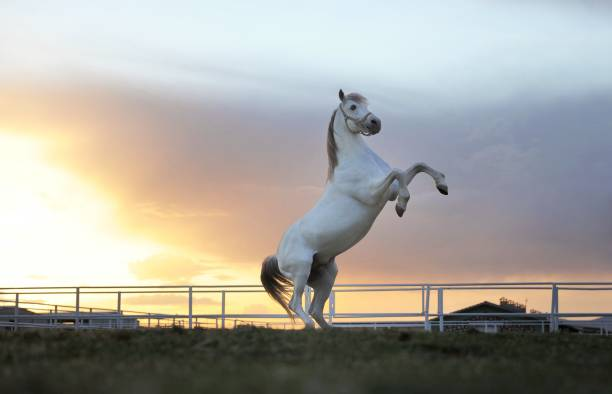 White Horse A White Horse rearing up arabian horse stock pictures, royalty-free photos & images