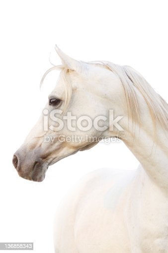 beautiful white arabian horse