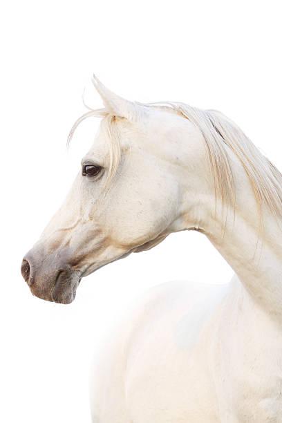 white horse beautiful white arabian horse arabian horse stock pictures, royalty-free photos & images