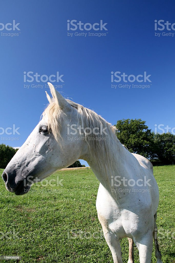 White horse royalty-free stock photo