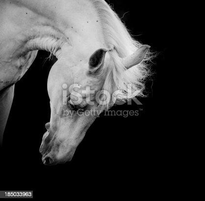 istock white horse 185033963