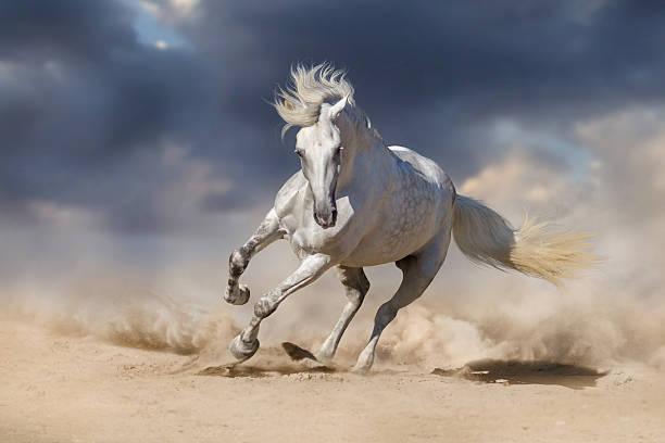 white horse - andalusier pferd stock-fotos und bilder