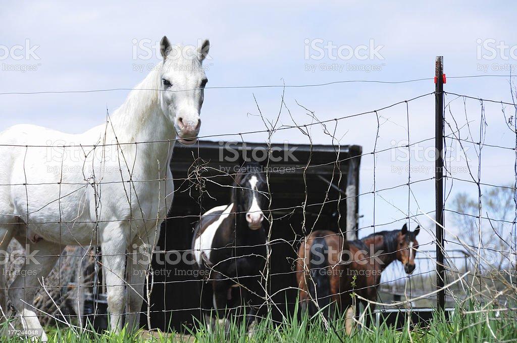 White Horse Plus Two royalty-free stock photo