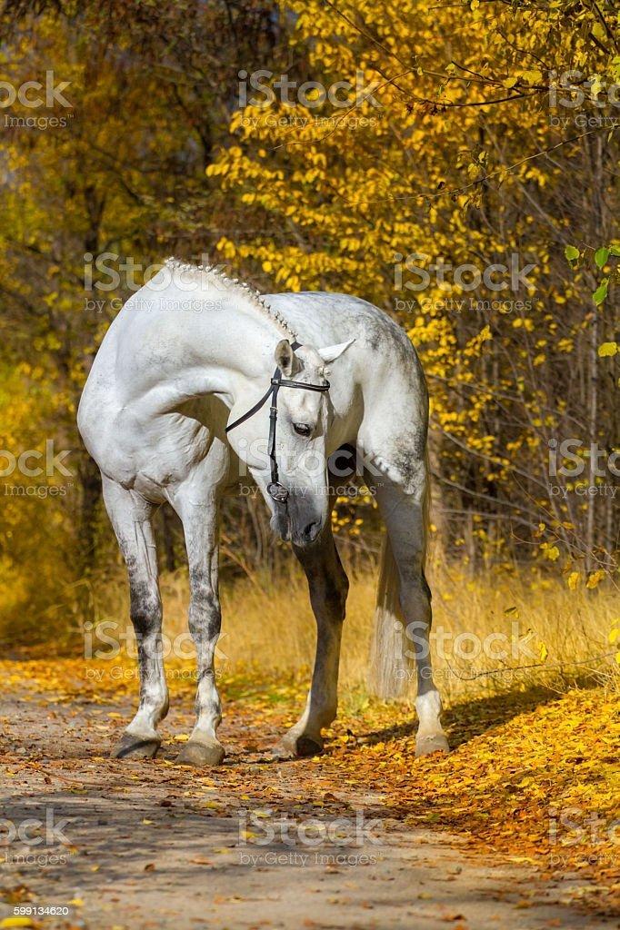 White horse portrait in autumn stock photo