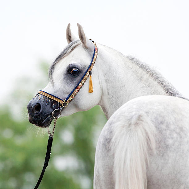 White horse portrait Arabian gray horse looking away outdoors. arabian horse stock pictures, royalty-free photos & images