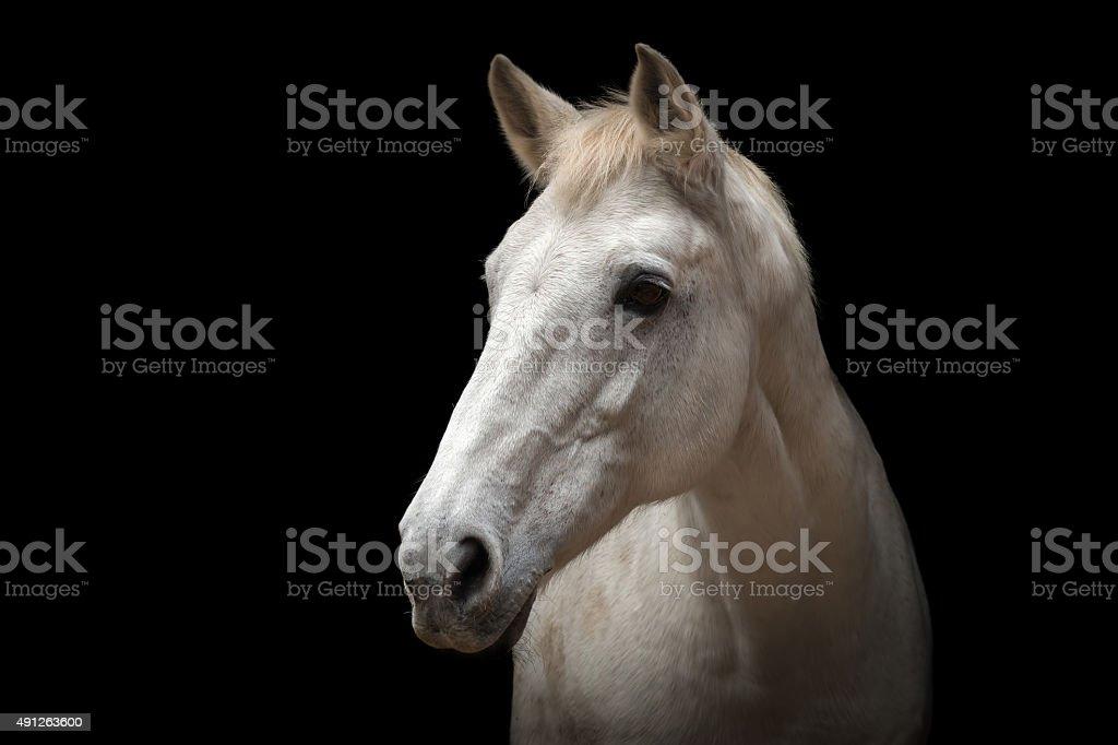 White Horse Portrait Stock Photo Download Image Now Istock