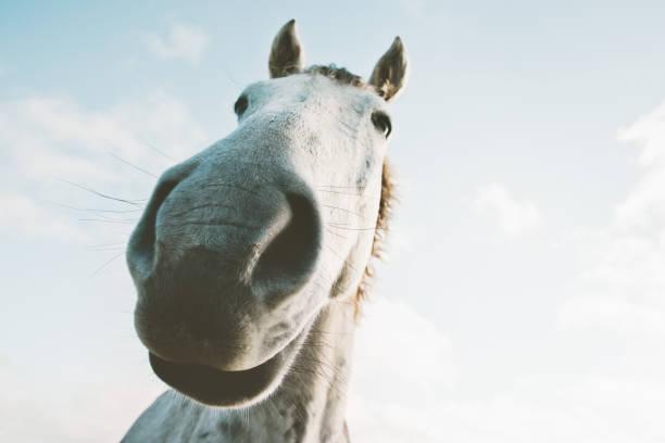 Weißes Pferd Porträt Selfie lustige Tiere hautnah wilde Natur Tiere thematische – Foto