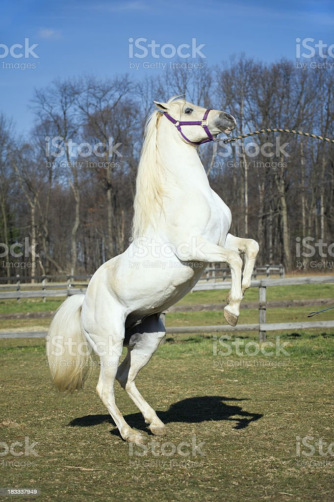White Horse Rearing Up Arabian Stallion In Motion Stock Photo Download Image Now Istock