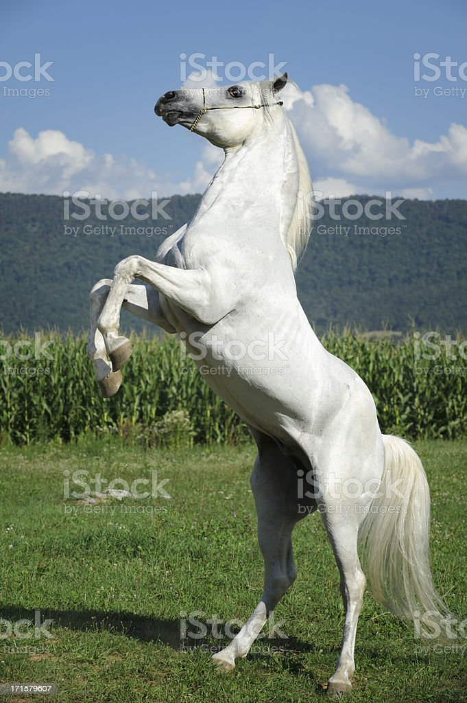 White Horse Rearing Up in Summer Field stock photo