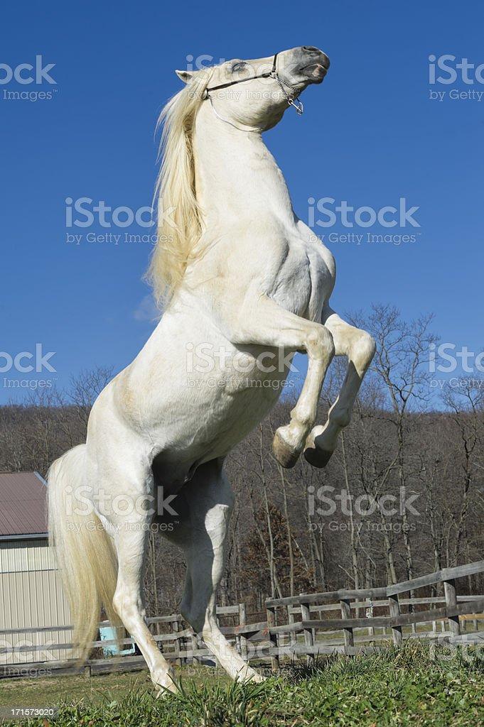 White Horse Rearing Up stock photo