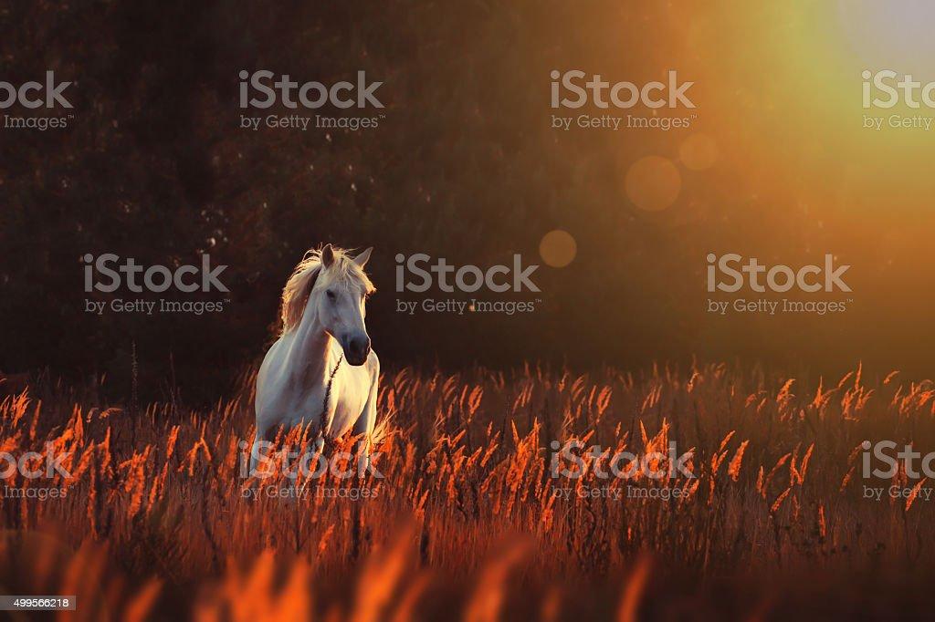 white horse run forward stock photo