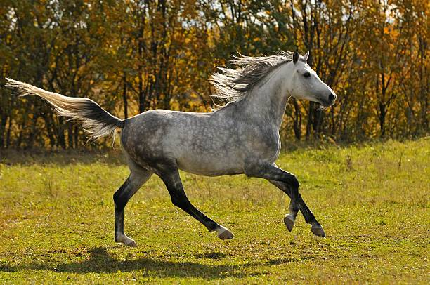 white horse run gallop on the meadow stock photo