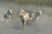 white horse run in dust