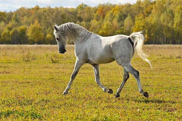 white horse run trot on the meadow stock photo