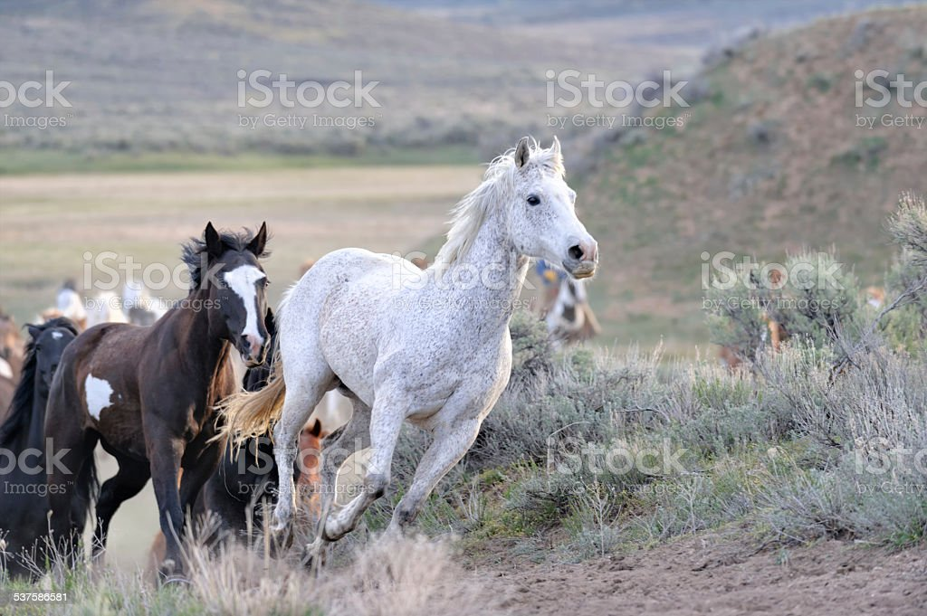 White Horse Running in the Lead stock photo