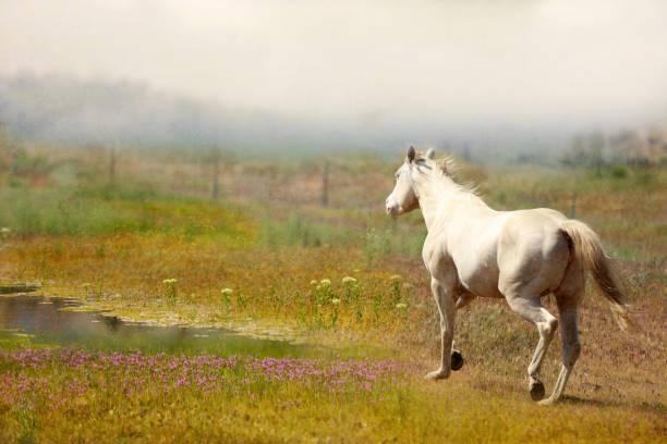 White horse running through a meadow. stock photo