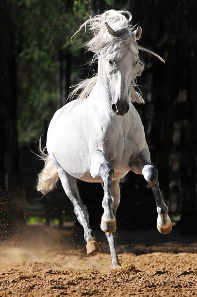White horse runs gallop in sand stock photo