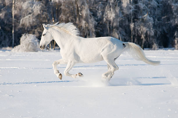 white horse runs gallop stock photo