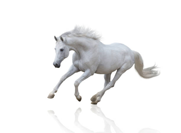 White horse runs isolated on white background picture id826720376?b=1&k=6&m=826720376&s=612x612&w=0&h=4yes4aofwgdjhtm5gnfkdkwad d418mbw9kb5ddt13i=