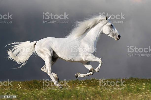 White horse runs on the dark sky background picture id167634718?b=1&k=6&m=167634718&s=612x612&h=mwfq2zhjtill34h0afltvzg2mhp b4tvsyaerez9fba=