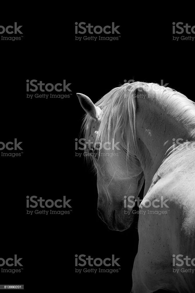 White Horse Stallion Andalusian Black stock photo