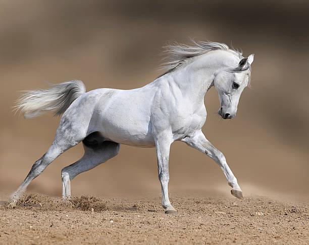 white horse stallion runs gallop in dust desert, collage paint stock photo