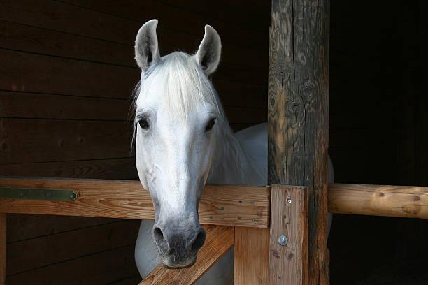 White horse standing in a barn picture id172386316?b=1&k=6&m=172386316&s=612x612&w=0&h=vswckbbc7ewjrewdphlaapxovup3 eyd0ob0m1ex37m=