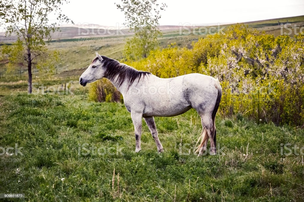 White horse standing in a pasture of green grass and alfalfa stock photo
